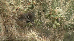 Cactus Wren Walking On Cactus Stock Footage