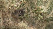 Stock Video Footage of Cactus Wren Walking On Cactus