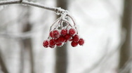 Stock Video Footage of rowanberry in winter