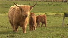 Highland Cow of Scotland with  Two Babies Stock Footage