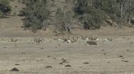 Stock Video Footage of P00821 Bighorn Sheep Herd Resting