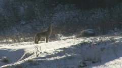 P00822 Coyote Howling in Winter Stock Footage