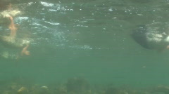 P00823 Ducks Feeding Underwater Stock Footage