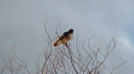 Stock Video Footage of Hawk Flies Away