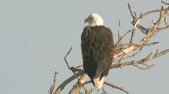 P00833 Bald Eagle Filmed in XDCAM EX Format - stock footage
