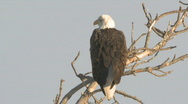 Stock Video Footage of P00833 Bald Eagle Filmed in XDCAM EX Format