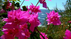Bougainvillea in Oaxaca Mexico Stock Footage