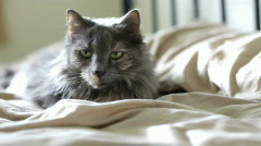 Gray cat laying on bed Stock Footage