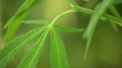 Cannabis plant (Cannabis sativa) Stock Footage