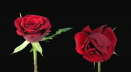 "Stock Video Footage of Time-lapse of opening and dying ""Valentino"" rose alpha matte 5d"