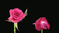 """Time-lapse of opening and dying """"Aquarius"""" rose alpha matte 5d Stock Footage"""
