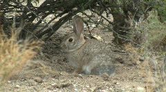 Desert Cottontail Rabbit Hiding Under Shrub Stock Footage