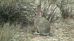 Desert Cottontail Rabbit Munching On Plant Stock Footage