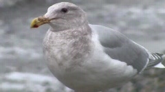 A Seagull in Winter Beach Stock Footage