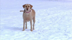 Yellow Lab in Snow 1298 Stock Footage