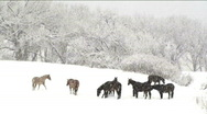 Horses In Snowstorm Stock Footage