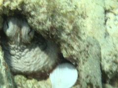 Hiding octopus Stock Footage