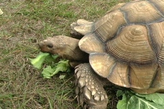 African Spurred Tortise (10) Stock Footage