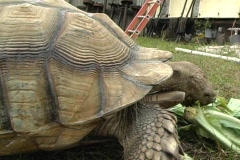 African Spurred Tortise (3) Stock Footage