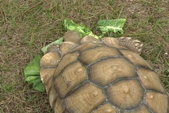 African Spurred Tortise (7) Stock Footage