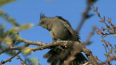 Phainopepla Perched On Branch Stock Footage