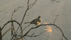 Northern Mockingbird Perched On Branch Stock Footage