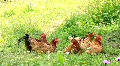 Chicken family HD Footage
