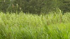 Agriculture, sugar cane field in Ecuador, #2 Stock Footage