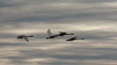 Swans in flight Stock Footage