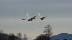 swans in flight - stock footage