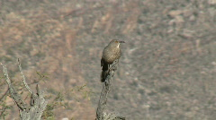 Curve Billed Thrasher Vocalizing Stock Footage