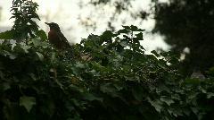 Three robins eating berries Stock Footage