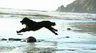 Stock Video Footage of Healthy Dog Running