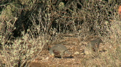 Gambel's Quail Foraging Stock Footage