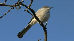Northern Mockingbird Vocalizing Stock Footage