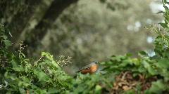 Pair of robins eating berries Stock Footage