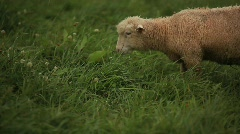 Sheep Eating Stock Footage