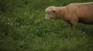 Sheep Eating Stock Footage