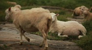 Sheep Sitting Stock Footage