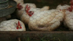 Chickens in a Coup - stock footage