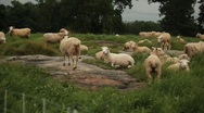 Sheep in Field Stock Footage