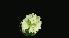 Time-lapse of growing white hyacinth Christmas flower 6 ALPHA matte Stock Footage
