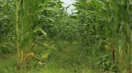 Corn Stalk Stock Footage