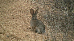 Rabbit In Sonoran Desert - stock footage