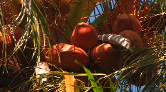 Coconut Palm Tree.  Stock Footage