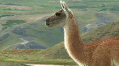 Chilean guanaco Stock Footage