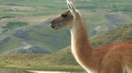 Stock Video Footage of Chilean guanaco