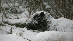 Sheep meditate in snowfall Stock Footage