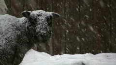 Sheep looking at the snow Stock Footage