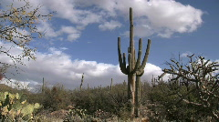 Saguaro Cactus In Sonoran Desert - stock footage